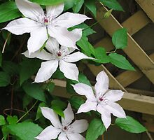 Clematis  by goddarb