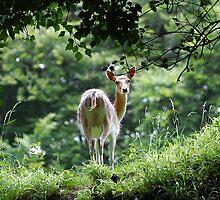Doe a deer by Declan Carr