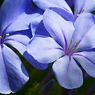 Plumbago by Margaret Barry