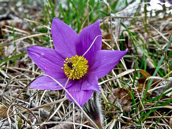 purple beauty by www.romansolar photography.com