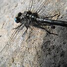 Conversation With A Dragonfly by Tracy Wazny
