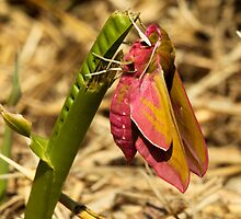 Elephant Hawk-Moth by Robert Abraham