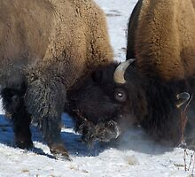 Buffalo In The Rut   #2958 by JL Woody Wooden