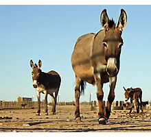 A Burro's Curiousity is Never Satisfied Photographic Print