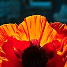 Red Poppy by MariaVikerkaar
