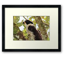 Laughing Falcon profile Framed Print