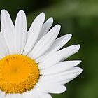 Daisy Sunshine by Scott Ruhs