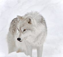 Artic Wolf by Poete100