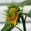 Sunflower opening by Margaret  Shark