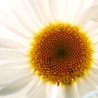 Daisy Sunshine by Tamara Brandy
