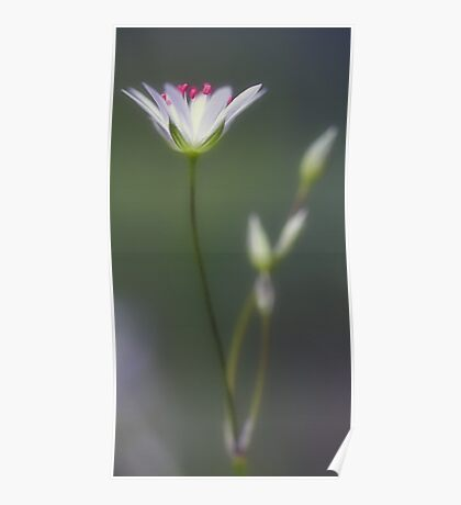 Wildflower - Star Chickweed Poster