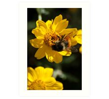 Bumblebee and The Yellow Flower Art Print