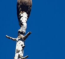 Bald Eagle    #2698 by JL Woody Wooden