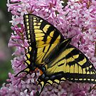 Eastern Tiger Swallow Tail On A Lilac by Tracy Wazny