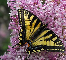 Eastern Tiger Swallow Tail On A Lilac by Tracy Faught