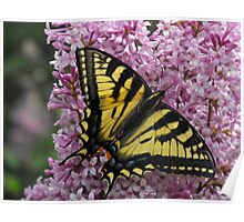 Eastern Tiger Swallow Tail On A Lilac Poster