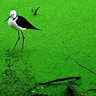 Black winged stilt by Gwynne Brennan