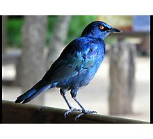 Blue Starling Photographic Print