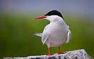 Arctic Tern - Sterna paradisaea by David Lewins