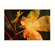 Another Japanese Maple Leaf... Art Print