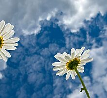 Daisies and Sky by Veikko  Suikkanen