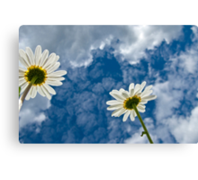 Daisies and Sky Canvas Print