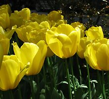 Yellow tulips! by rasim1