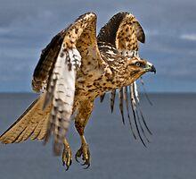 Galapagos Hawk by Sue Earnshaw
