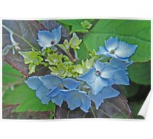 Hydrangea Blossoming Poster