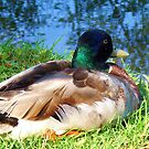 Mallard Duck by schiabor