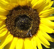 Bee Pollinating a Sunflower by Sinclere