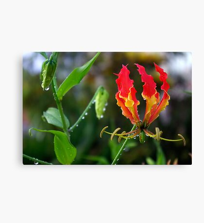 Fire-Flame Lily Kissed with Raindrops Canvas Print
