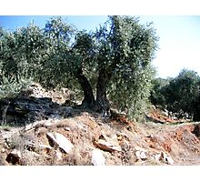 A DOUBLE RATION OF OLIVES. Photographic Print