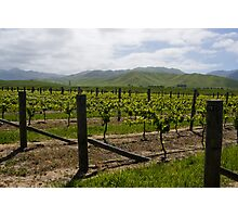 Vineyard Landscape, Marlborough Photographic Print
