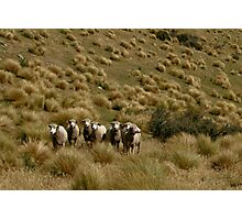 Corriedale Sheep in Tussock  Photographic Print