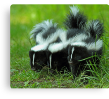 Baby Skunk Trio Canvas Print