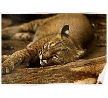 Sleeping bobcat Poster