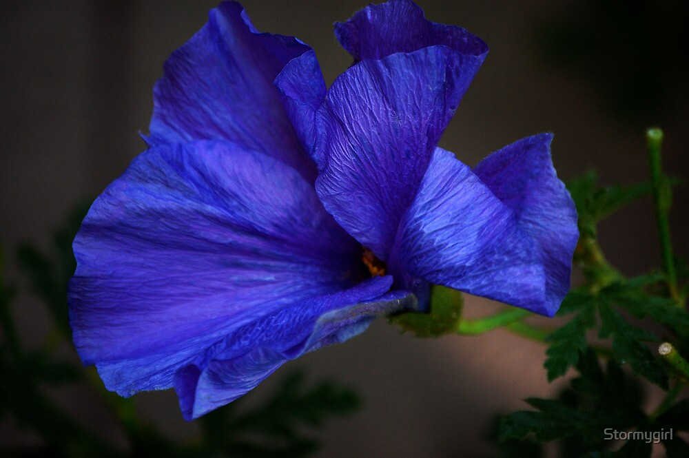 Quot Blue Hibiscus Flower Quot By Stormygirl Redbubble