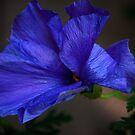 Blue Hibiscus Flower by Stormygirl