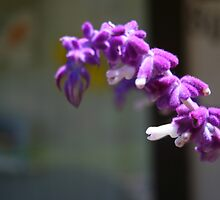 Mexican Sage Flowers  by heatherfriedman