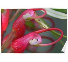 Grevillea obtusifolia  Poster