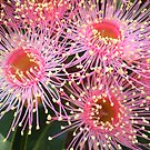 Tiny pink flower of the Eucalyptus Tree by EdsMum
