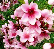 Blossom of my Nectarine Tree - Spring 2009 by EdsMum