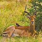 Impala and Red-billed Oxpecker by Konstantinos Arvanitopoulos
