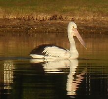 Pelican Reflected by KazM