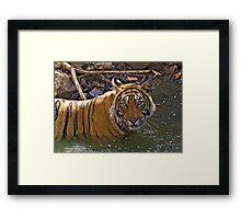 Bengal Tiger (Panthera tigris) Framed Print