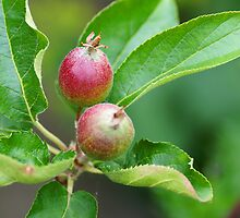 The little apple tree by walstraasart
