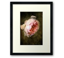 Summer's last rose Framed Print