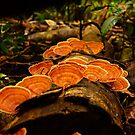 Eungella Fungi by Arthur Koole