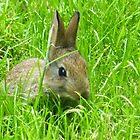 Rabbit at Rosslyn by lizjames